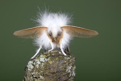 Brown-Tail Moth Male Showing Antennae--Photographic Print