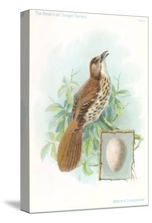 Brown Thrasher, Songbird