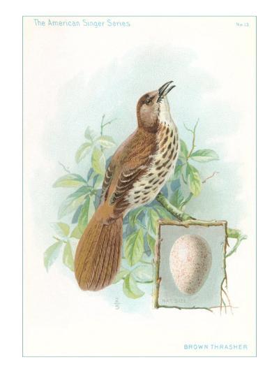 Brown Thrasher, Songbird--Art Print