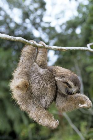 Brown-Throated 3-Toed Sloth--Photographic Print
