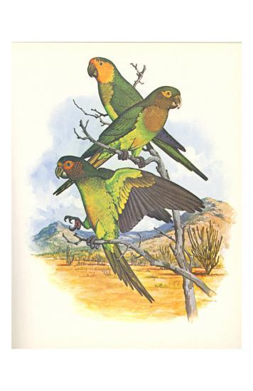 Brown Throated Conure no. 401--Art Print