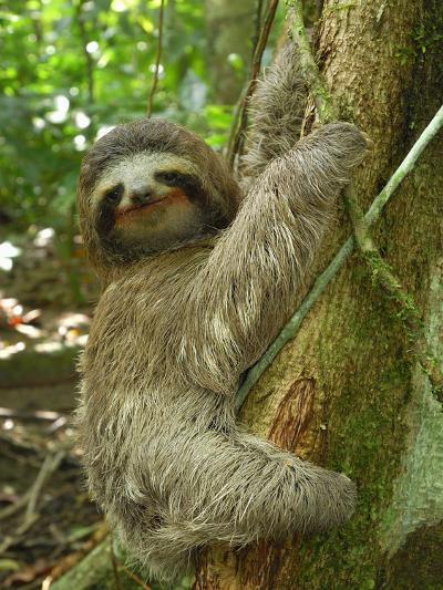 Brown-Throated Three-Toed Sloth (Bradypus Variegatus), Cahuita National Park, Costa Rica-Thomas Marent-Photographic Print