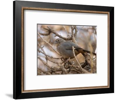 Brown Towhee at the Omaha Zoo, Nebraska-Joel Sartore-Framed Photographic Print