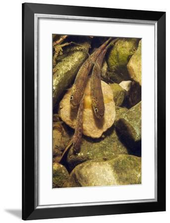 Brown Trout (Salmo Trutta) Fry on River Bed, Cumbria, England, UK, September-Linda Pitkin-Framed Photographic Print