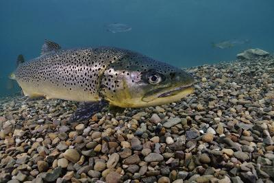 Brown Trout (Salmo Trutta) Jackdaw Quarry, Capernwray, Carnforth, Lancashire, UK, August-Linda Pitkin-Photographic Print