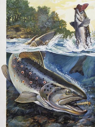 Brown Trout (Salmo Trutta), Salmonidae--Giclee Print