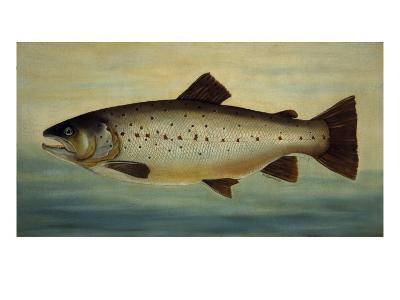Brown Trout-Porter Design-Premium Giclee Print