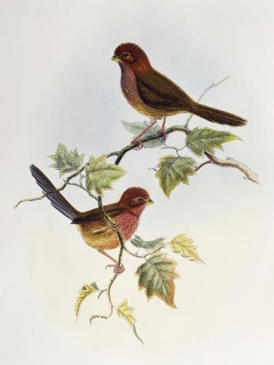 Brown-Winged Parrotbill (Paradoxornis Brunneus)-John Gould-Giclee Print