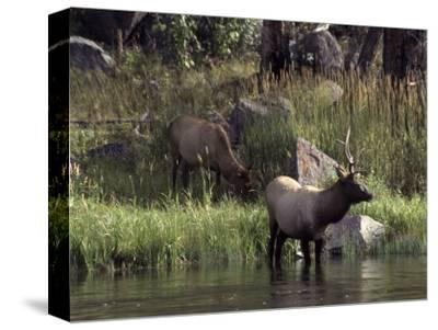 Moose in Yellowstone River, Yellowstone National Park, WY