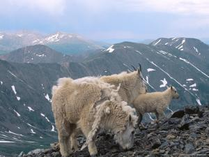 Mountain Goats, Western Wyoming by Bruce Clarke