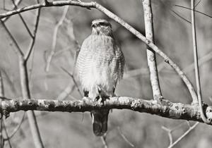 Hawk by Bruce Nawrocke