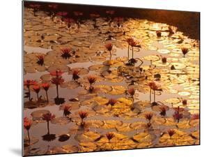 Lotus Pond by Bruno Baumann