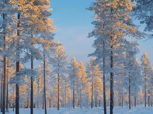 Snow-covered forest by Bruno Ehrs