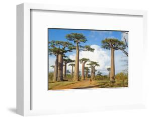 Baobab Trees, Morondava, Madagascar, Africa by Bruno Morandi