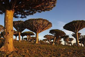 Dragon Tree (Dracaena Cinnabari), Socotra Island, Yemen, Middle East by Bruno Morandi