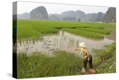 Fishing in the Rice Fields, Tam Coc, Ninh Binh Area, Vietnam, Indochina, Southeast Asia, Asia