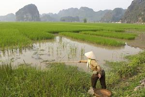 Fishing in the Rice Fields, Tam Coc, Ninh Binh Area, Vietnam, Indochina, Southeast Asia, Asia by Bruno Morandi