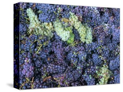 Grapes for Chianti Wine, Chianti, Tuscany, Italy