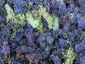 Grapes for Chianti Wine, Chianti, Tuscany, Italy by Bruno Morandi