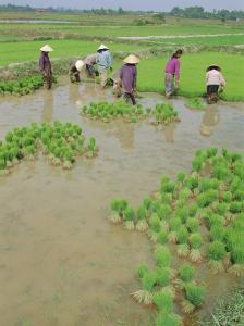 Rice Paddies, Vientiane, Laos, Asia by Bruno Morandi