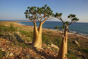 Rose of Desert (Adenium Obesum Ssp. Sokotranum), Dihamri Beach, Socotra Island, Yemen, Middle East by Bruno Morandi