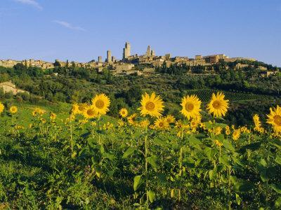 San Gimignano and Field of Sunflowers, Tuscany, Italy