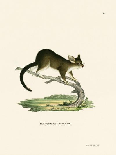 Brushtail Possum--Giclee Print