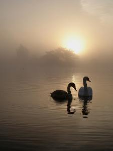 Autumn Swans by Bryan Garnett Photography