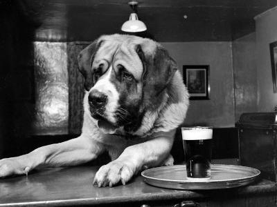 Bryan the St. Bernard Dog Enjoys a Pint, February 1956--Photographic Print