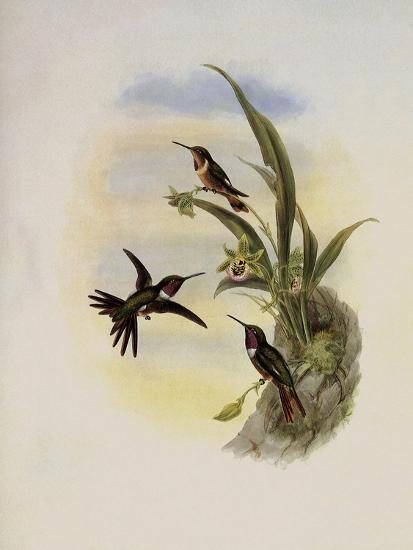 Bryant's Wood-Star, Doricha Bryant�-John Gould-Giclee Print