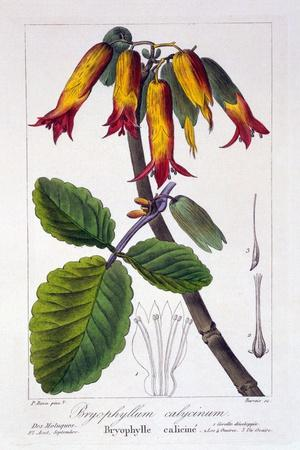 https://imgc.artprintimages.com/img/print/bryophyllum-calycinum-or-kalanchoe-pinnata-1836_u-l-pm8yrk0.jpg?p=0