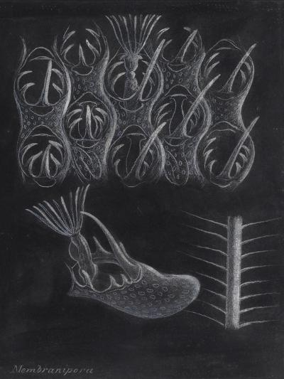 Bryozoa-Philip Henry Gosse-Giclee Print