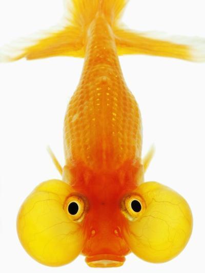 Bubble Eye Goldfish-Martin Harvey-Photographic Print