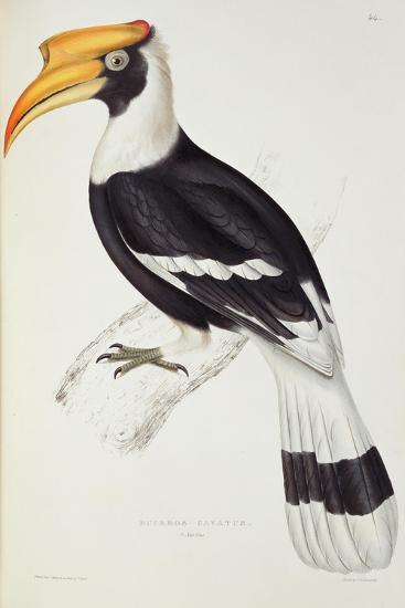 Buceros Cavatus-John Gould-Giclee Print