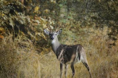 Buck in Autumn-Jai Johnson-Giclee Print