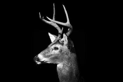 Buck in Black and White-Malcolm MacGregor-Photographic Print