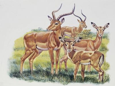 Buck (Male), Doe (Female) and Fawn of Impala (Aepyceros Melampus), Bovidae--Giclee Print