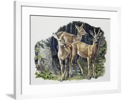 Buck (Male), Doe (Female) and Fawn of Roe Deer (Capreolus Capreolus), Cervidae--Framed Giclee Print