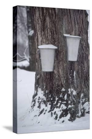 Buckets for Collecting Sap on a Maple Tree in Maine