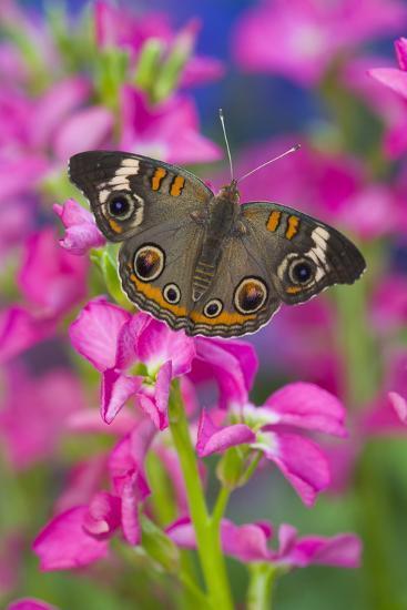 Buckeye Butterfly with Eyespots-Darrell Gulin-Photographic Print