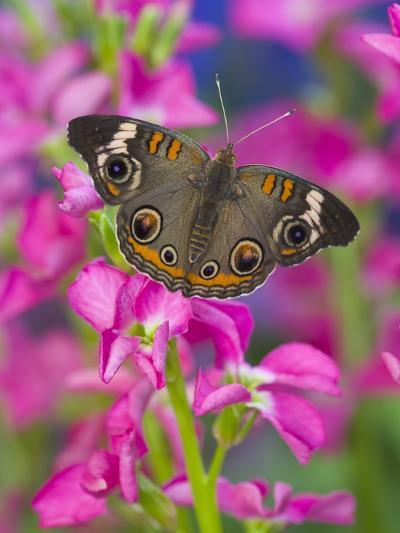 Buckeye Butterfly-Darrell Gulin-Photographic Print
