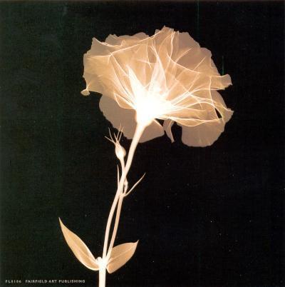 Bud in Bloom--Art Print