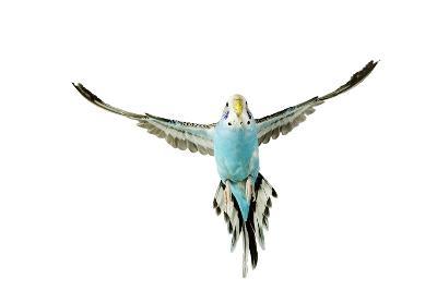 Budgerigar in Flight--Photographic Print