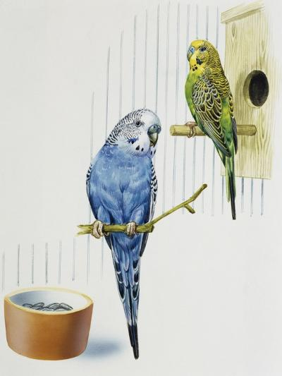 Budgerigar or Common Pet Parakeet (Melopsittacus Undulatus), Psittacidae--Giclee Print