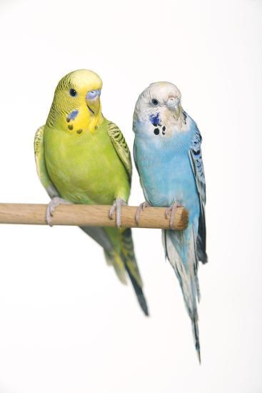 Budgerigar Two on Perch--Photographic Print