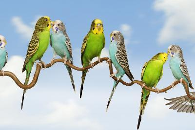 Budgerigars Group Perched on Twig--Photographic Print