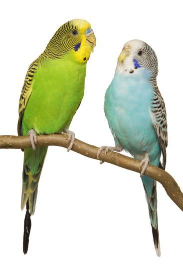 Budgerigars on Perch--Photographic Print