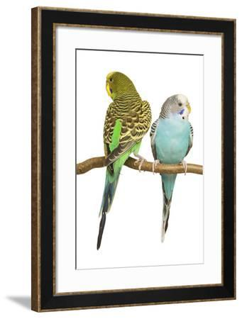 Budgerigars Two on Perch--Framed Photographic Print