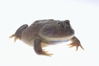Budgett's Frog-DLILLC-Photographic Print