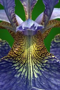 Bue Iris, Iris sibirica (photo)